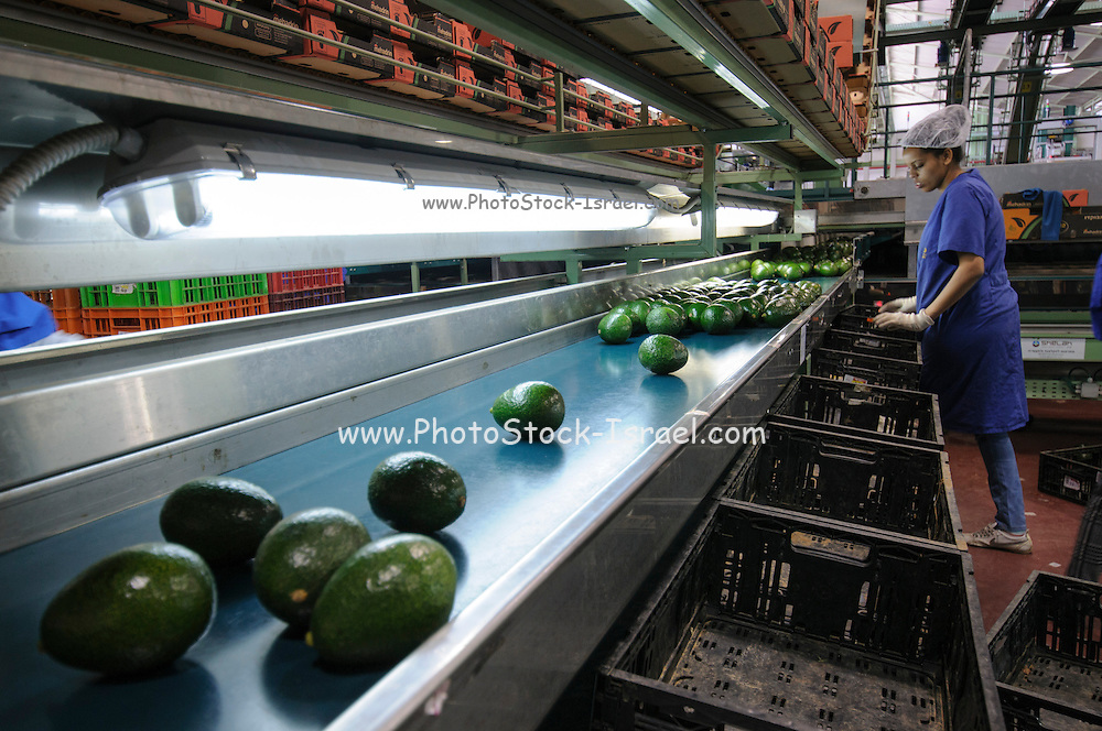 Computerized Avocado sorting and packing plant. Photographed in Israel Visual inspection