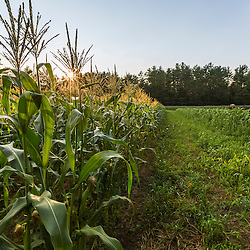A field of sweet corn on a farm in Epping, New Hampshire.