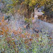 Colorado, Denver, Littleton, Metro, Waterton Canyon, hike, trail, outside, nature, park, river, adventure, mammal, ungulate, wildlife, mule deer, deer
