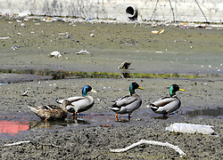 © Licensed to London News Pictures. 29/03/2012. Ducks and geese sat on an empty Empty pond at The Priory Gardens in Orpington, South East London on March 29, 2012. The ponds have run dry because of the drought conditions .Photo credit : Grant Falvey/LNP