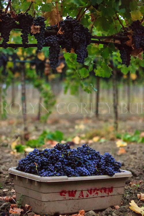 freshly picked Merlot grapes during a foggy morning harvest at Swanson Vineyards in Oakville, California