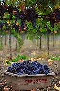 freshly picked Merlot grapes during a foggy morning harvest at Swanson Vineyards in Oakville, California