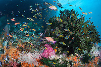 Anthias and Damsels feeding in the shadows of a seamount<br /> <br /> Shot in Indonesia