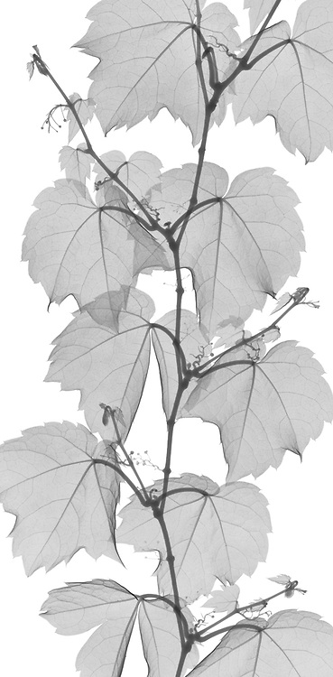 X-ray image of a Boston ivy strand, cropped (Parthenocissus tricuspidata, black on white) by Jim Wehtje, specialist in x-ray art and design images.