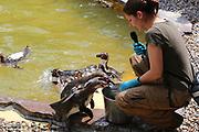 Mannheim. 05.06.17 | ID 010 |<br /> Luisenpark. Fütterung der Pinguine<br /> <br /> Bild: Markus Proßwitz 05JUN17 / masterpress