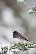 01569-013.20 Dark-eyed Junco (Junco hyemalis) on Blue Atlas Cedar (Cedrus atlantica 'Glauca') in winter, Marion Co.  IL