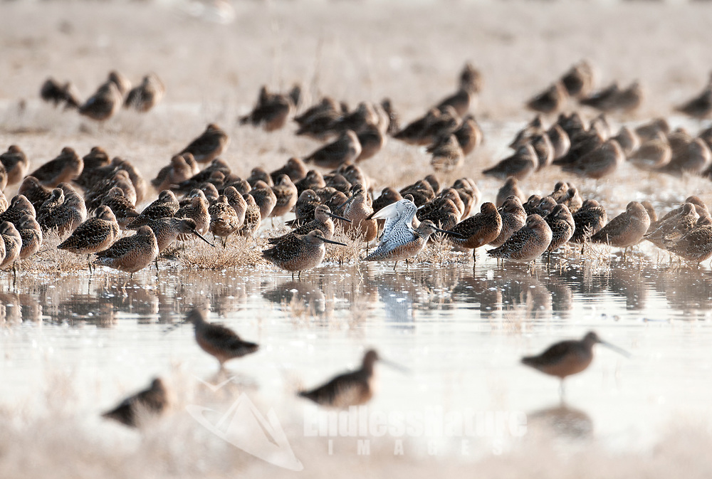Long Billed Dowitchers gather together rest after feeding in the marshes at Farmington Bay Wildlife refuge in northern Utah.