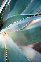 Closeup of an Agave plant Phoenix Arizona USA&#xA;<br />