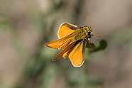 Copaeodes aurantiaca - Orange Skipperling
