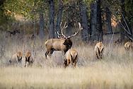 Bull elk, rut, harem, Cow elk, Cervus Canadensis, Charles M Russell National Wildlife Refuge, Montana