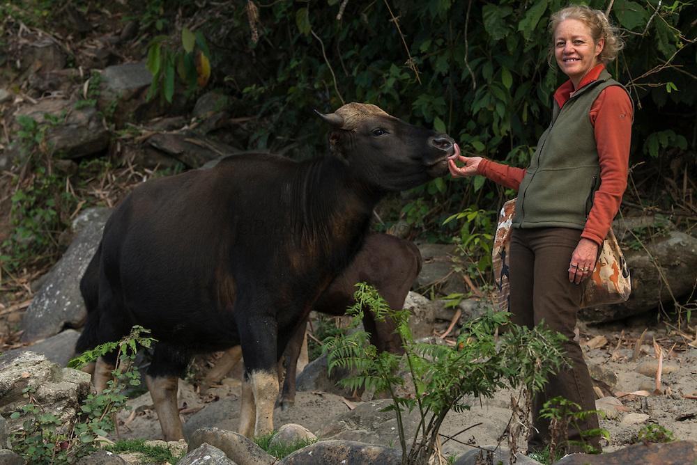 Mithun or domesticated Guar, bos & Renee Bish<br /> Arunachal Pradesh<br /> North East India