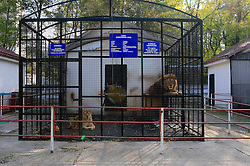ROMANIA ONESTI 26OCT12 - Lions and Siberian tigers in captivity at the Onesti zoo.  ..The zoo has been shut down due to non-adherence with EU regulations on the welfare of animals.......jre/Photo by Jiri Rezac / WSPA......© Jiri Rezac 2012