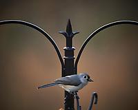 Tufted Titmouse. Image taken with a Nikon Df camera and 300 mm f/4 telephoto lens (ISO 400, 300 mm, f/4, 1/320 sec)