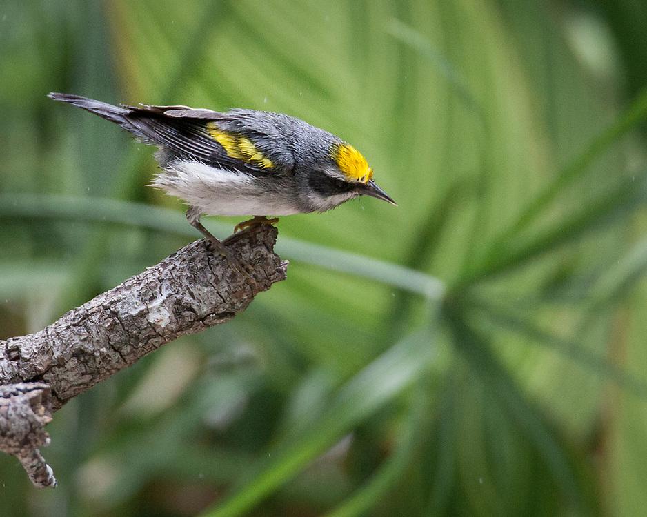 Vermivora chrysoptera, Texas