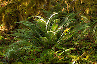 The Hoh Rain Forest is a fantastic place for finding huge ferns growing under optimal conditions, such as this massive sword fern growing in the middle of this ancient virgin forest.