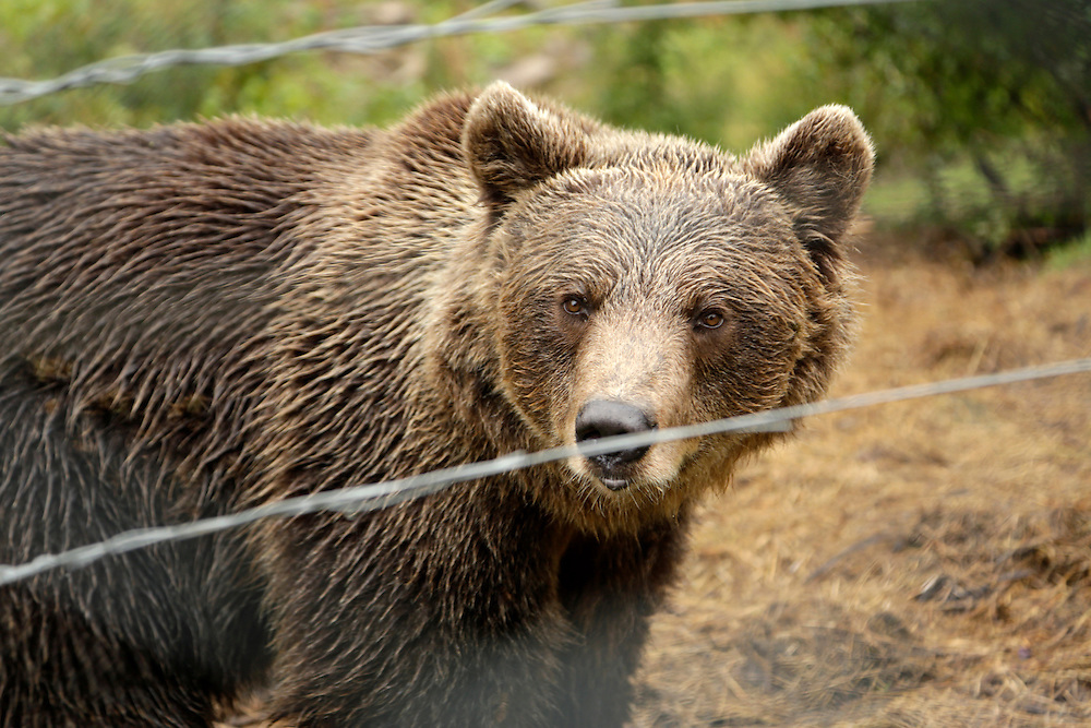 Bear at Bear Sanctuary, Kuterevo, Croatia.