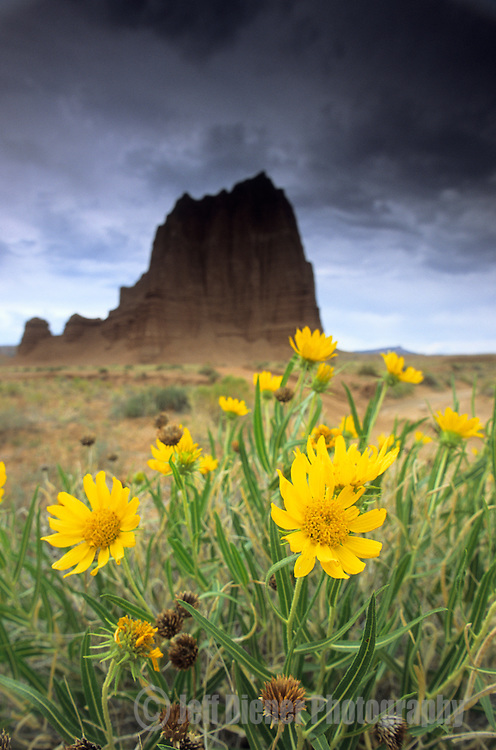 Wildflowers bloom in front of the Temple Of The Sun rock formation.  Capital Reef National Park, Utah.