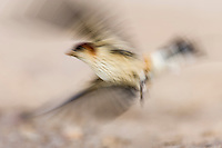 Greater-striped swallow blurred in flight, De Hoop Nature Reserve, Western Cape, South Africa