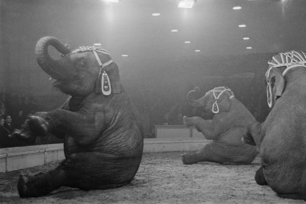 Elephants, Hagenbeck Circus, London, England, 1935