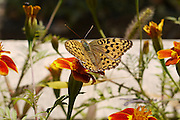 Turkey, Pontic Mountains range, Butterfly on a flower