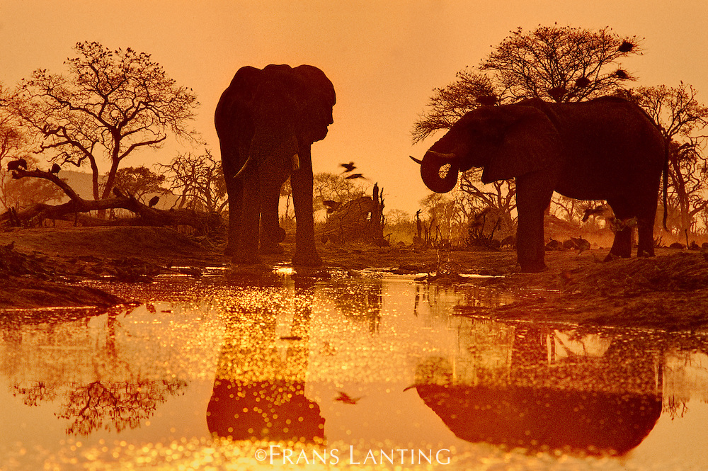 Elephants at sunset, Loxodonta africana, Chobe National Park, Botswana