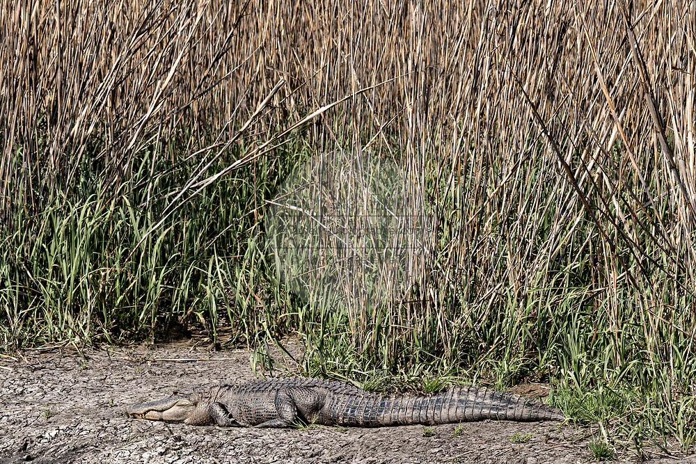 An American alligator basks at the edge of a marsh at the Donnelley Wildlife Management Area March 11, 2017 in Green Pond, South Carolina. The preserve is part of the larger ACE Basin nature refugee, one of the largest undeveloped estuaries along the Atlantic Coast of the United States.