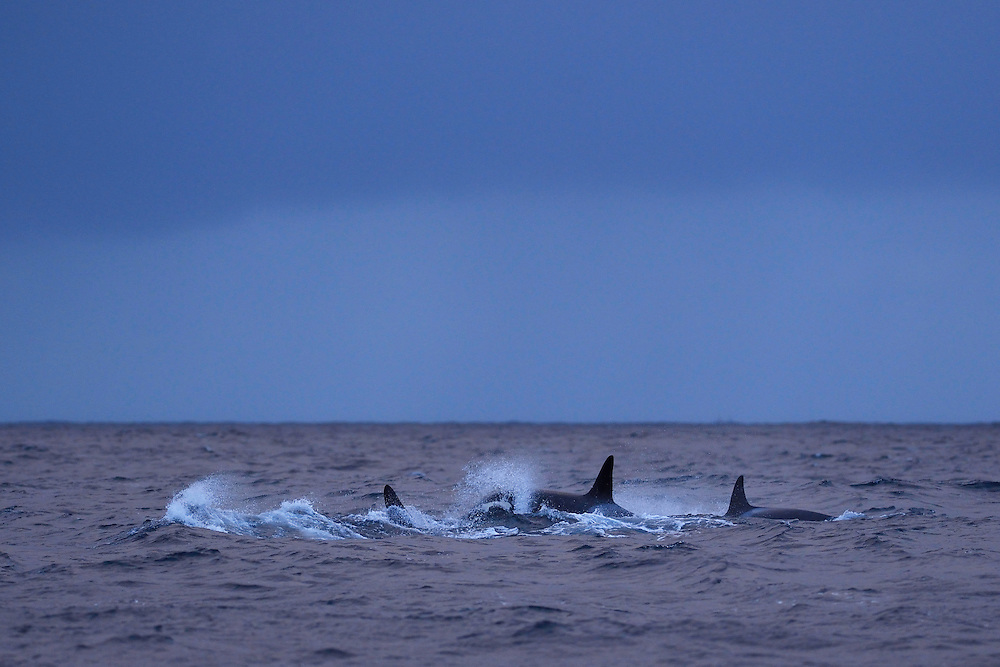 Orcas, or Killer whales, Orcinus orca, Senja, Troms county, Norway, Scandinavia