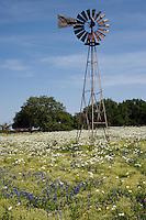 White Prickly Poppy (Argemone albiflora),  Mason County, Texas