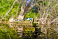 Damselfly<br /> <br /> Todd Pearsons/Engbretson Underwater Photography