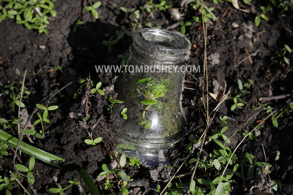 Salisbury Mills, New York - Small plants grow in the neck of a broken bottle on the forest floor near the Moodna Creek on April 3, 2011.