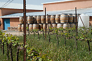 Israel, Judea Mountains, Grape vines in a winery empty wine barrels in the background