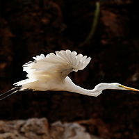 Fying Intermediate Egret, Ranthambhore, India