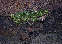 Uganda Cave (Egyptian Fruit Bats/African Rock Python)