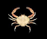 Pennant's Nut Crab - Ebalia tuberosa