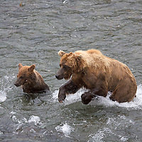 USA, Alaska, Katmai. Grizzly sow teaches her cub to catch salmon at Brooks Falls, Katmai National Park.