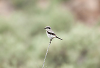 A Loggerhead Shrike has a black mask slight hooked bill with a slight white breast and is about nine inches tall.