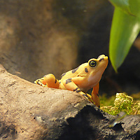 Panama Golden Toad. See it in ARKive at http://www.arkive.org/golden-arrow-poison-frog/atelopus-zeteki/