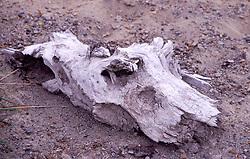 Downed Wood, Mt. St. Helens National Volcanic Monument, Washington, US