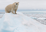 We were in a small icebreaker ship traveling off the Austfonna glacier in Nordaustlandet, Svalbard when our guide Rinie van Muers spotted a tiny bit of yellow in the midst of all the icebergs.  None of the passengers could spot the bear until we were quite a ways into the ice.  The bear was interested in us and provided quite a show.  She was very curious about us.  She climbed the iceberg to get a better view of us an was sniffing and watching us.  We imagined she was calculating how to get on board.<br /> IUCN Red List: Vunerable<br /> Processing:  Crop, Clarity, Tone, Vibrance, Sharpening
