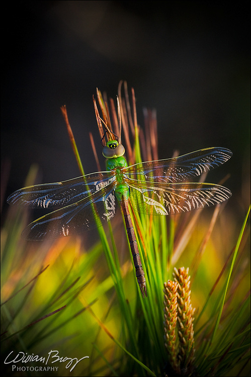 Shadow Dragon - Common Green Darner