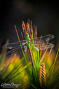 Shadow Dragon - Common Green Darner