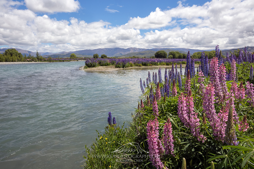 Pink lupins along the banks of the Ahuriri River, New Zealand