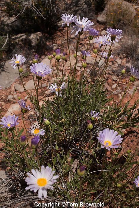 Mojave Aster (Xylorhiza tortifolia) in Grand Canyon