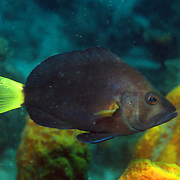 Yellowtail Hamlet inhabit reefs in Tropical West Atlantic; picture taken St. Lucia.