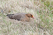 Greater White-fronted Goose, Anser albifrons, female on nest, Yukon Delta NWR, Alaska