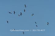 A fleet of magnificent frigatebirds in flight against a blue sky.