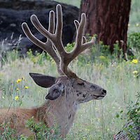 An Elk dozes in Rocky Mountain National Park.