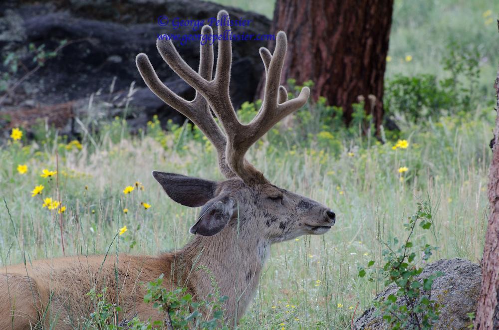 An Elk dozes in Rocky Mountain National Park.