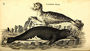 Seals from General zoology, or, Systematic natural history Part I, by Shaw, George, 1751-1813; Stephens, James Francis, 1792-1853; Heath, Charles, 1785-1848, engraver; Griffith, Mrs., engraver; Chappelow. Copperplate Printed in London in 1800. Probably the artists never saw a live specimen