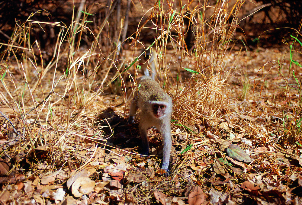 Young vervet monkey striding among fallen dead leaves in Zimbabwe